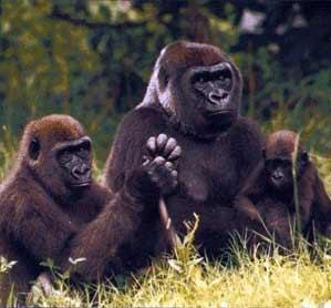 gorilas3107