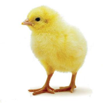 Evolucion del pollo buenisimo taringa for Despresadora de pollo