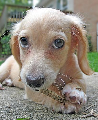perro-royendo